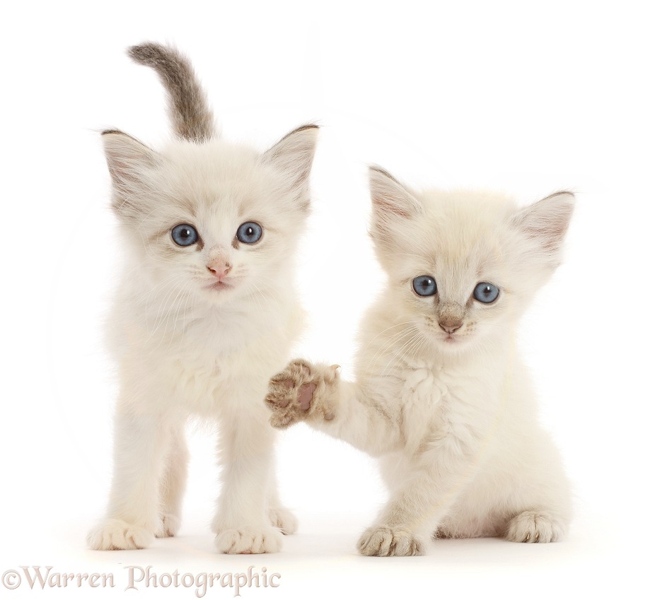 Colourpoint kittens, white background
