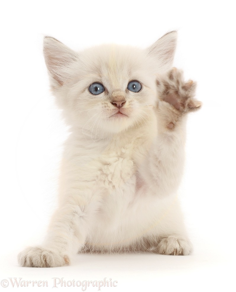 Colourpoint kitten waving a paw, white background
