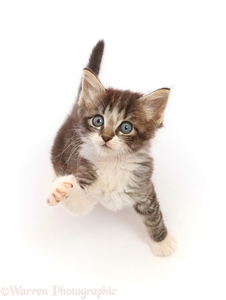 Tabby kitten, sitting looking up with raised paw, white background