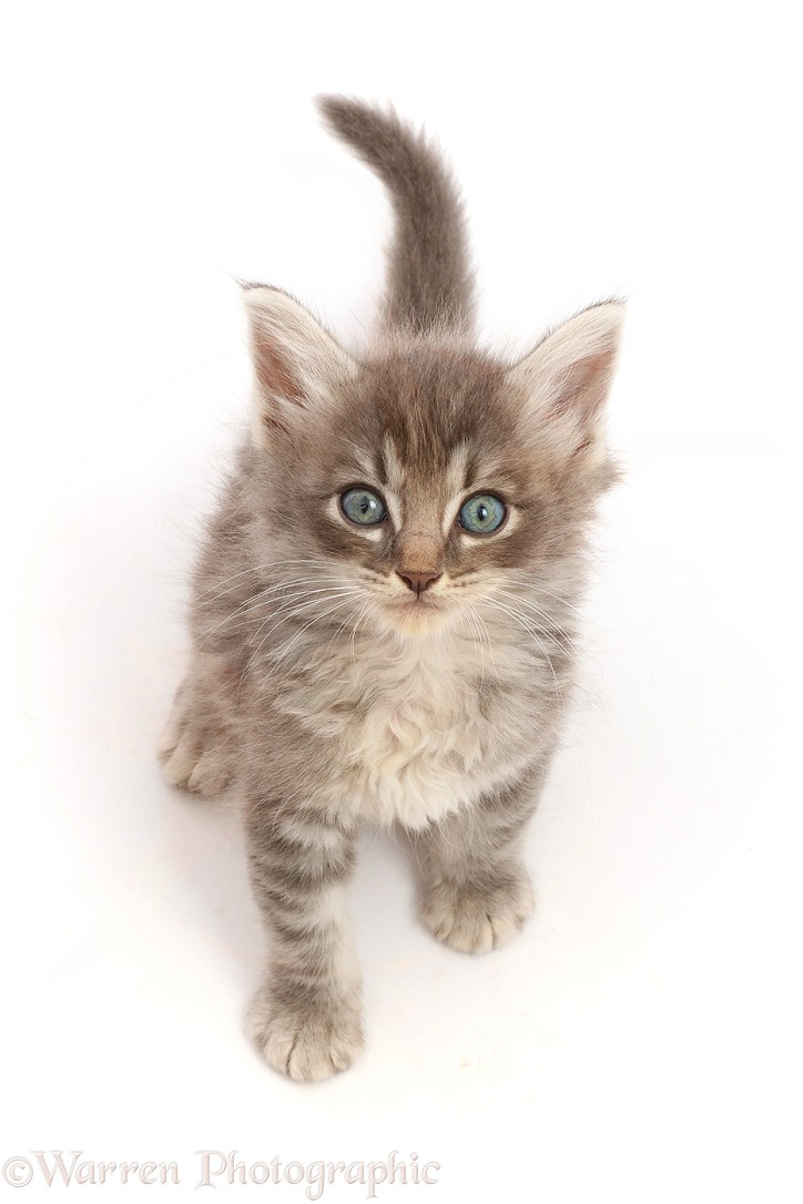 Tabby kitten, sitting looking up, white background