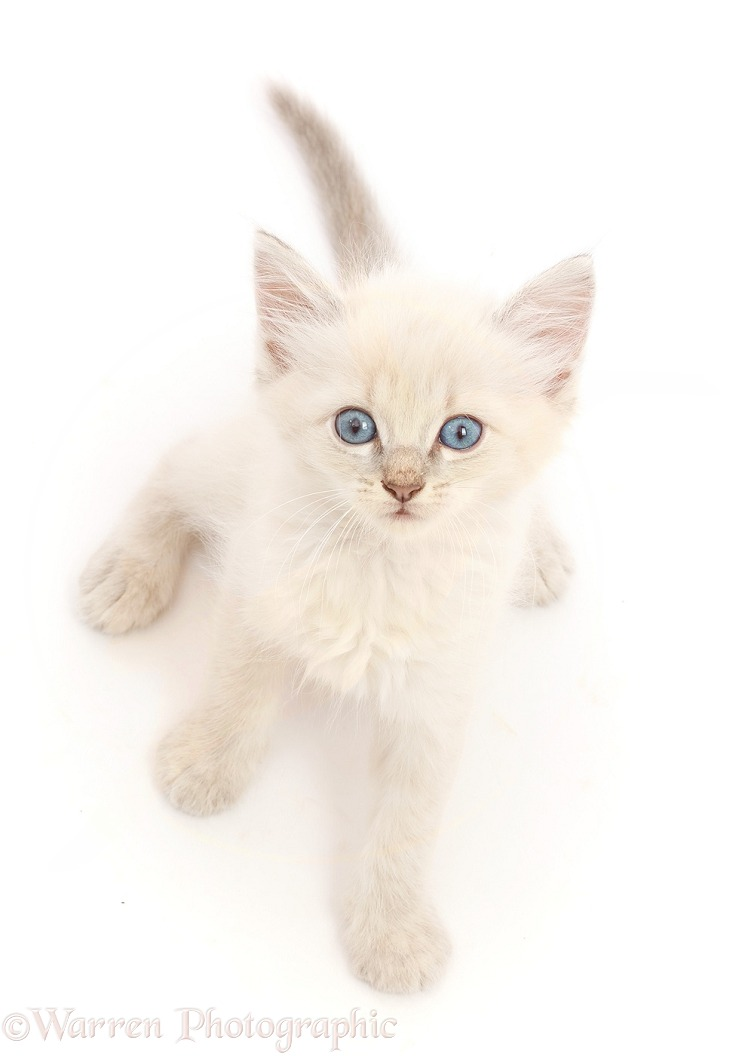 Blue point kitten, sitting looking up, white background