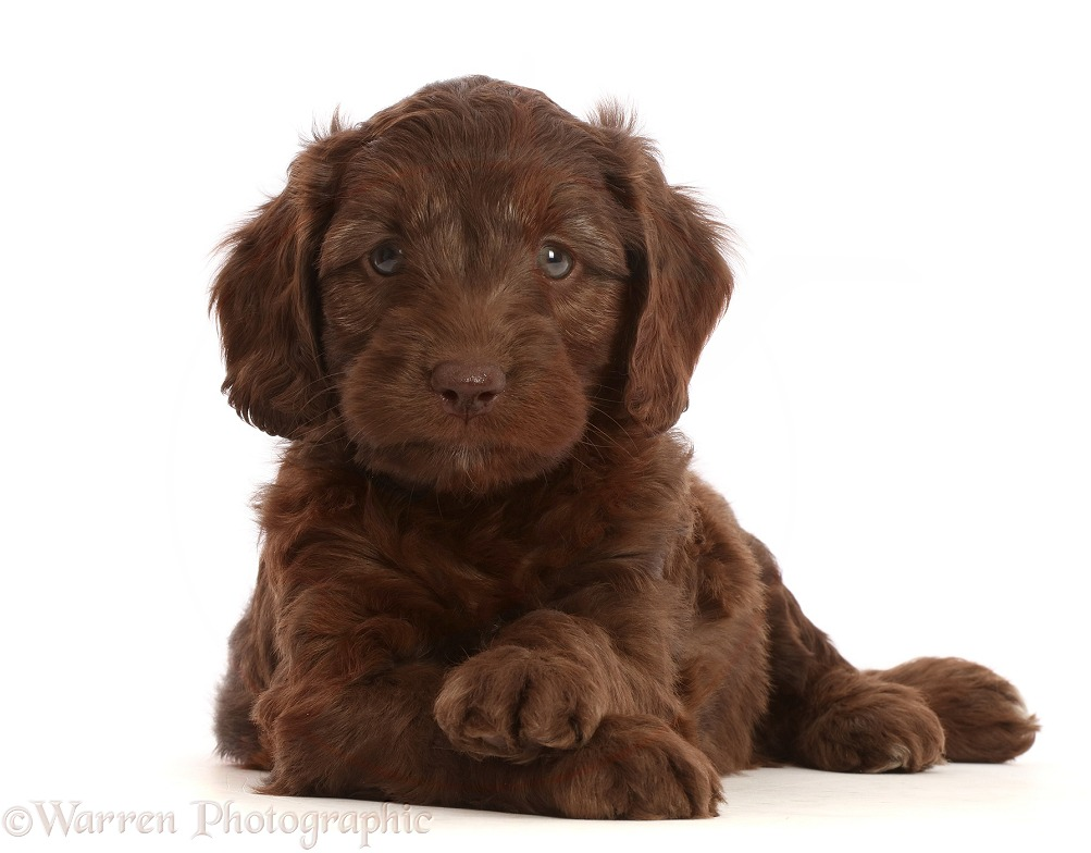 Chocolate Sproodle puppy with crossed paws, white background