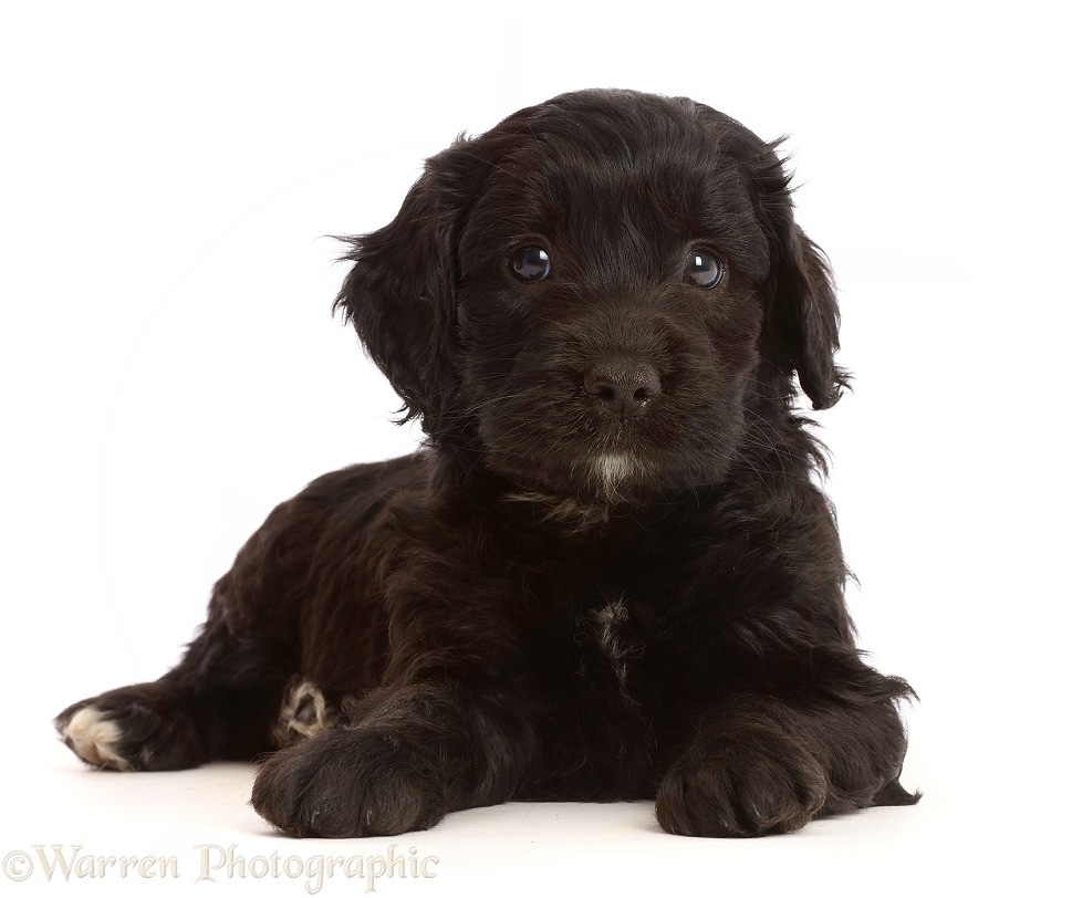 Black Sproodle puppy, white background