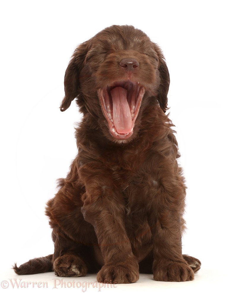 Chocolate Sproodle puppy yawning, white background