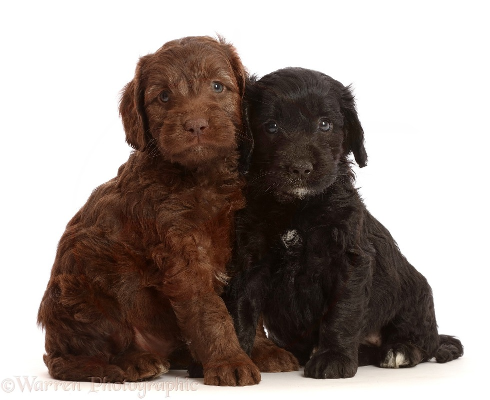 Chocolate and black Sproodle puppies, white background