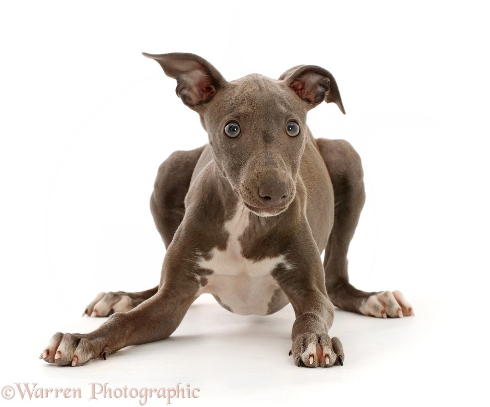 Perky looking Blue Italian Greyhound puppy, 4 months old, white background