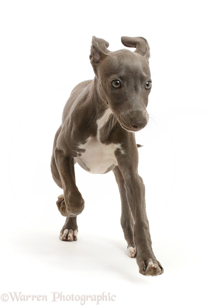 Blue Italian Greyhound puppy, 4 months old, running, white background