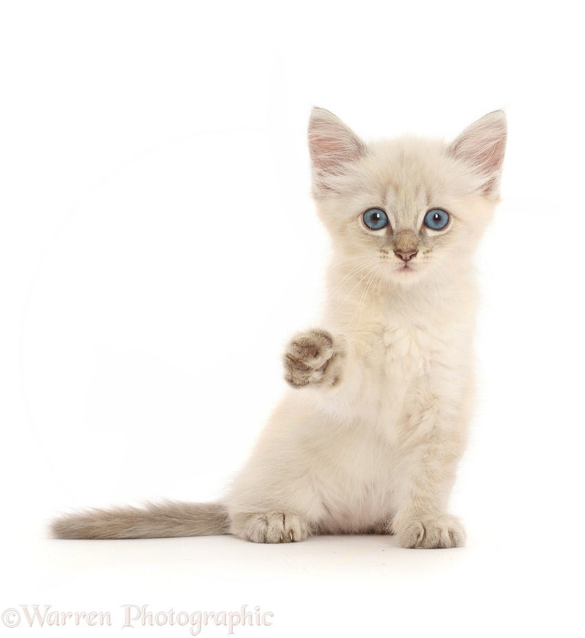 Blue point kitten, sitting and pointing a paw, white background
