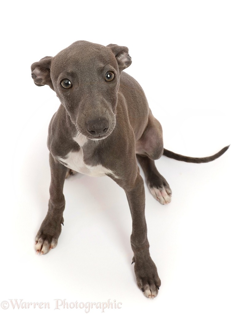 Blue Italian Greyhound puppy, 4 months old, sitting looking up, white background