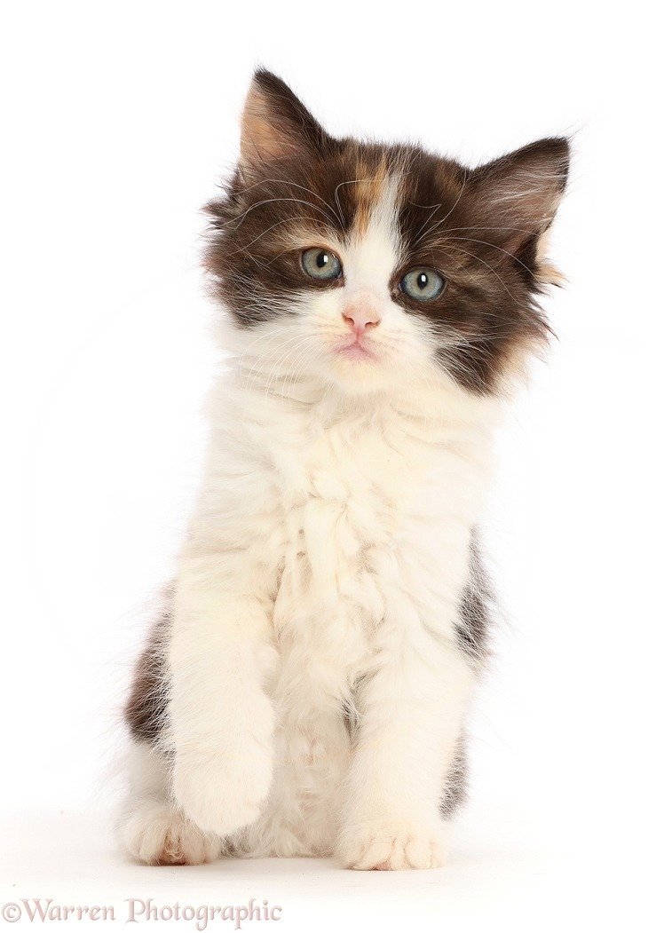 Calico kitten sitting, white background