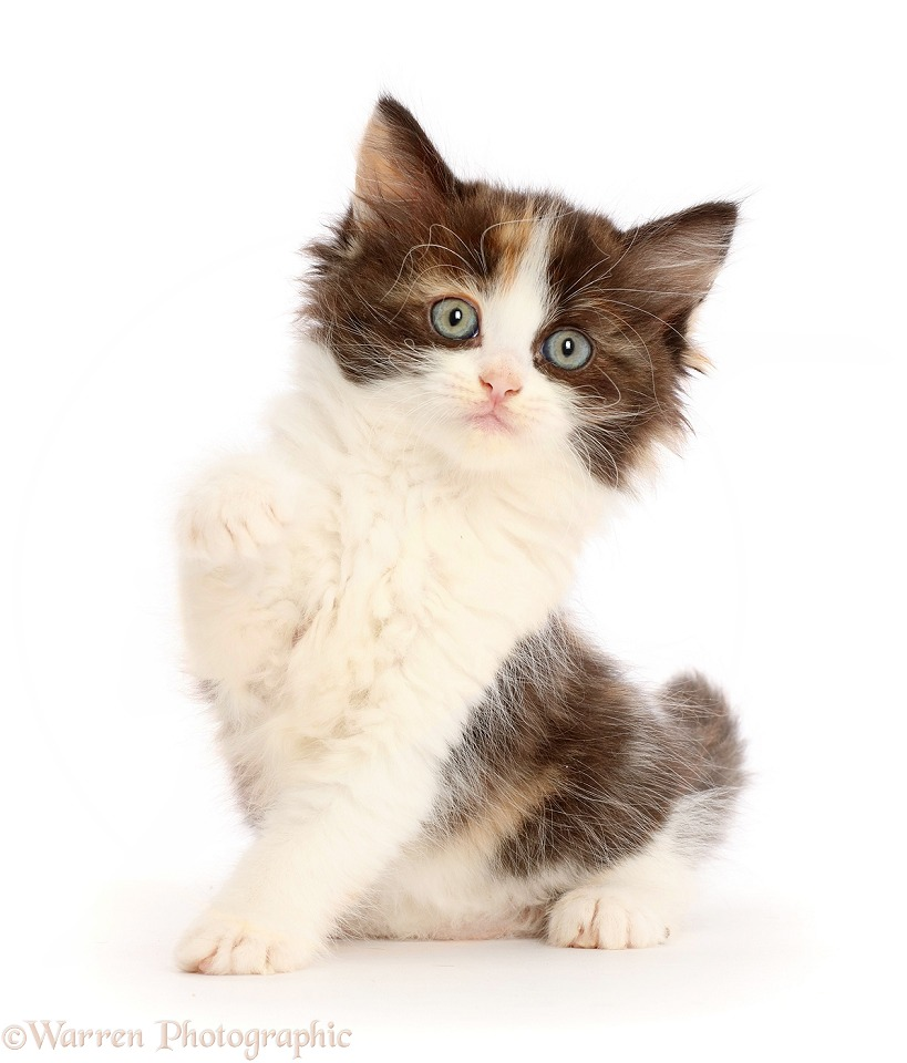 Calico kitten sitting, with raised paw, white background