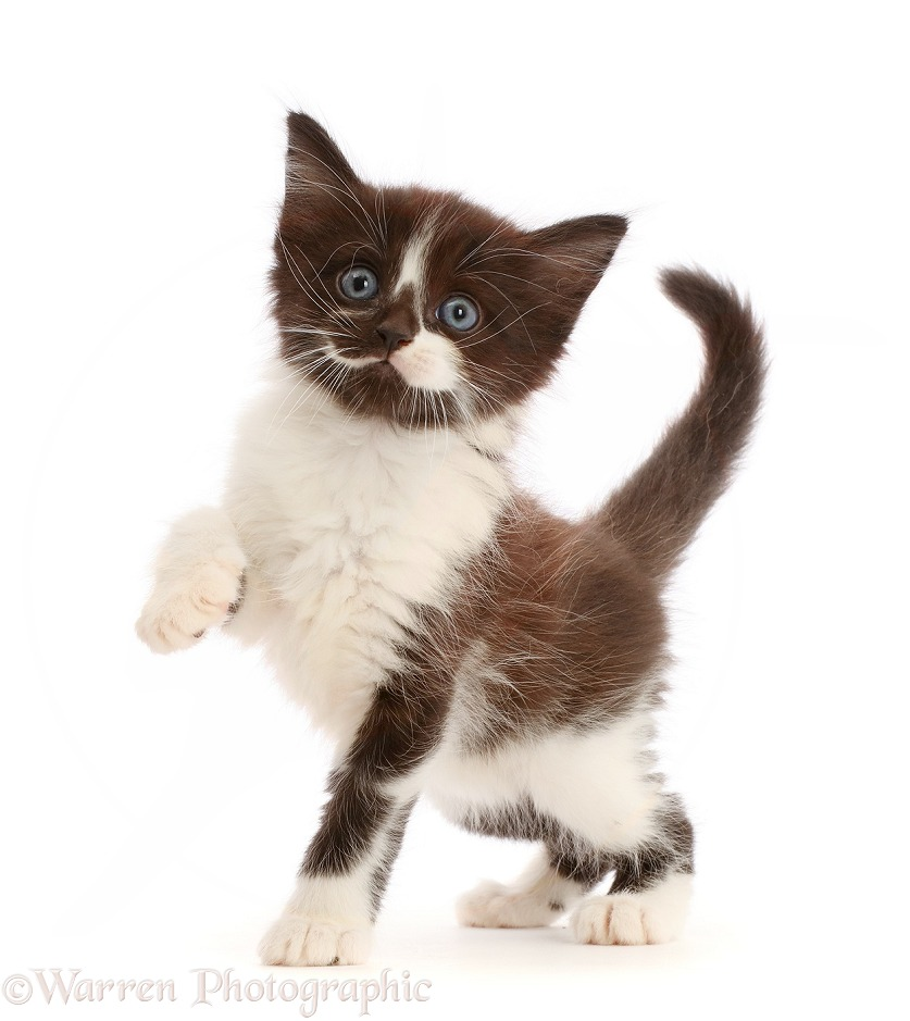 Black-and-white kitten pointing a paw, white background