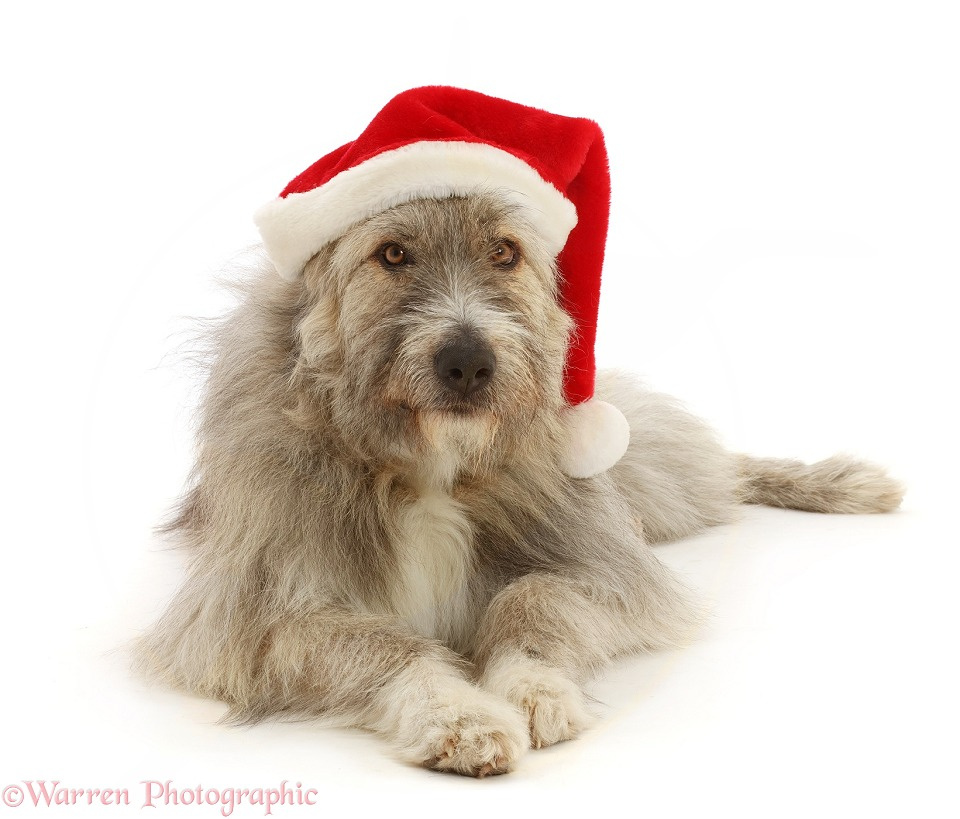 Romanian rescue dog, Kratu, wearing a Father Christmas hat, white background