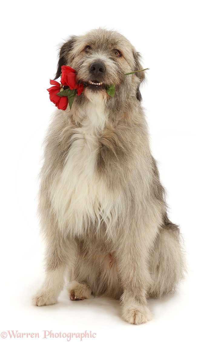 Romanian rescue dog, Kratu, holding red roses, white background