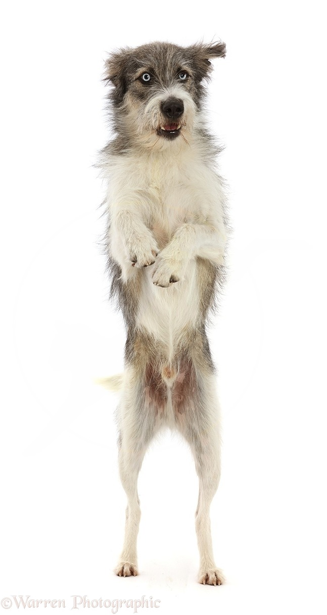 Romanian rescue dog, Polo, standing on hind legs, white background