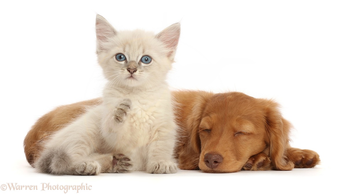 Blue point kitten, pointing a paw, while Dachshund pup sleeps, white background