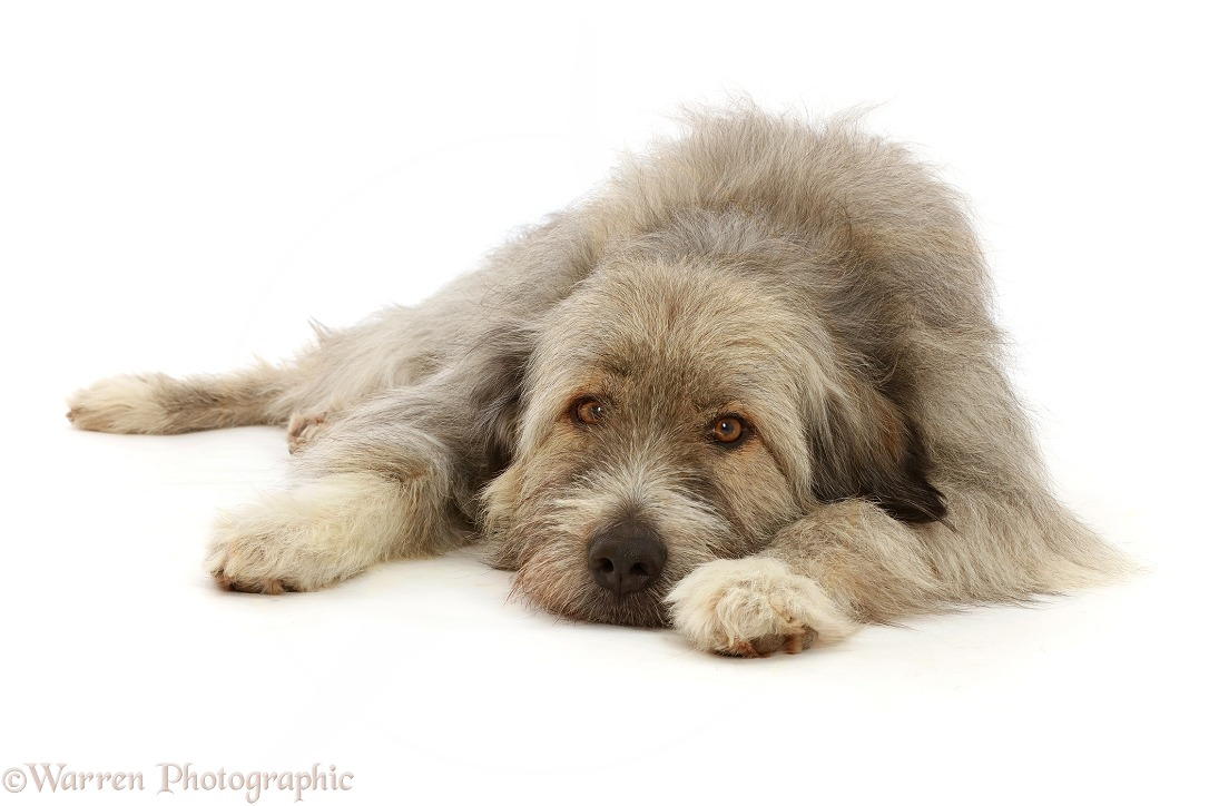 Romanian rescue dog, Kratu, lying chin on floor, white background