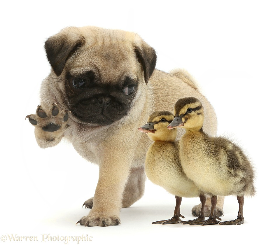 Playful Pug puppy with raised paw, and ducklings, white background