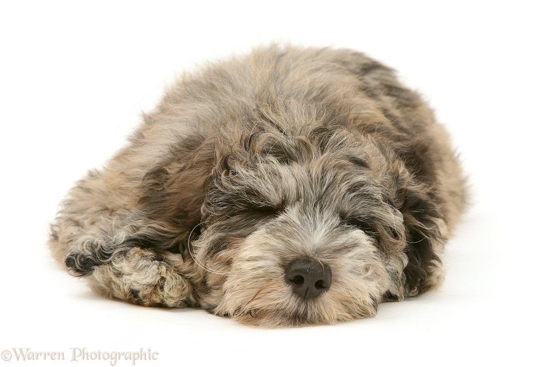 Blue merle Cadoodle pup (Collie x Poodle), Kizzy, 12 weeks old, sleeping, white background