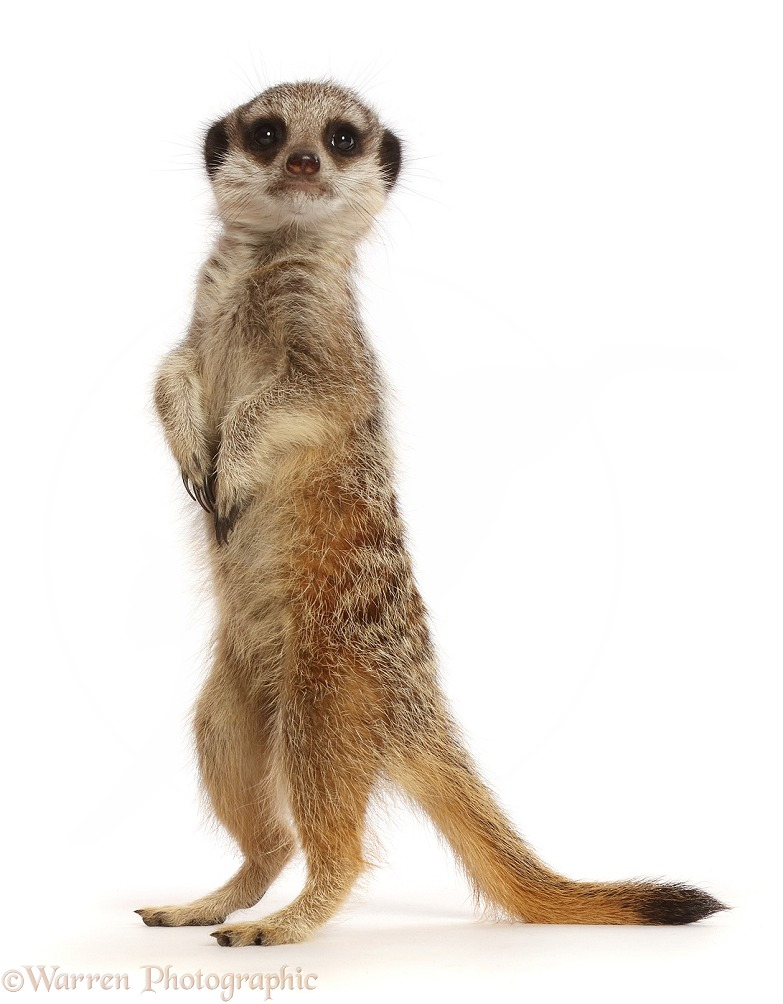 Young Meerkat (Suricata suricatta), 9 weeks old, standing up, white background