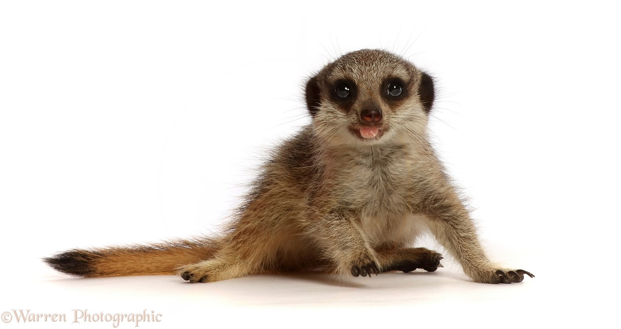 Young Meerkat (Suricata suricatta), 9 weeks old, with tongue out, white background