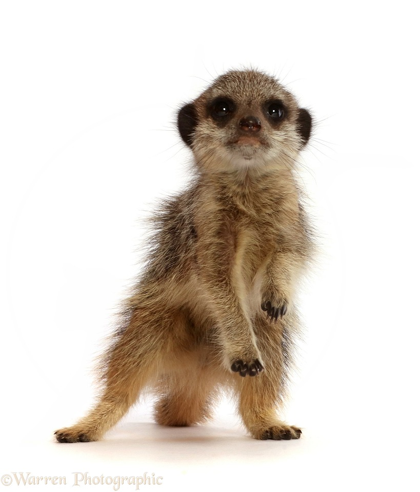Young Meerkat (Suricata suricatta), 9 weeks old, reaching up, white background