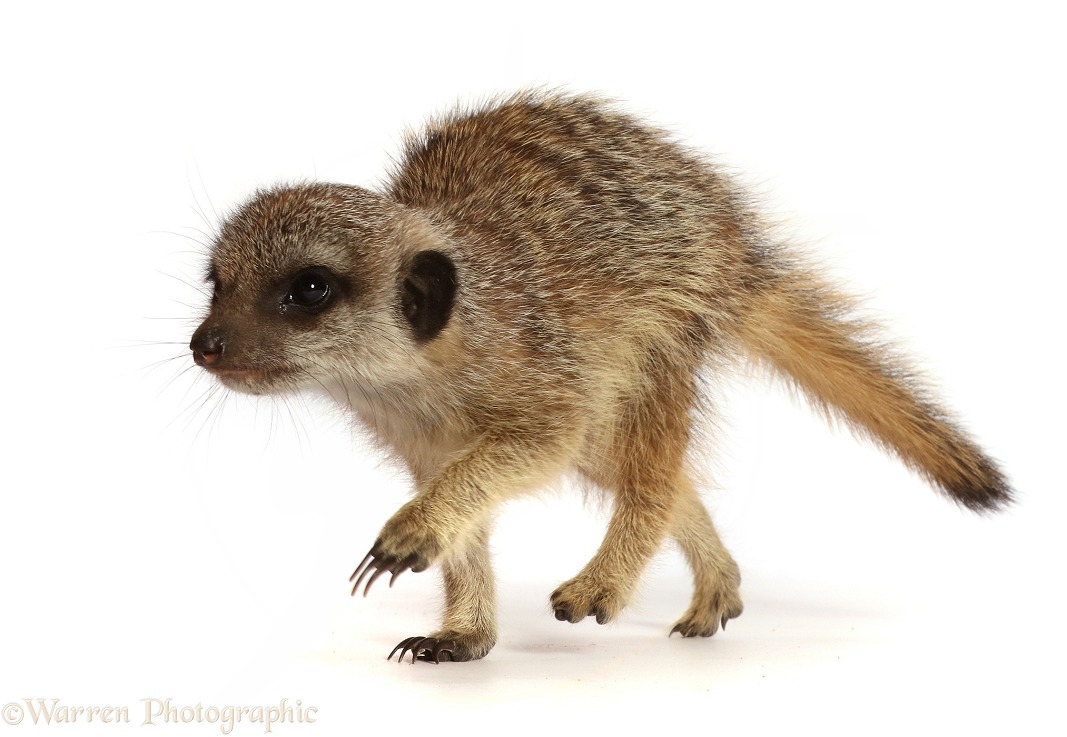 Young Meerkat (Suricata suricatta), 9 weeks old, white background