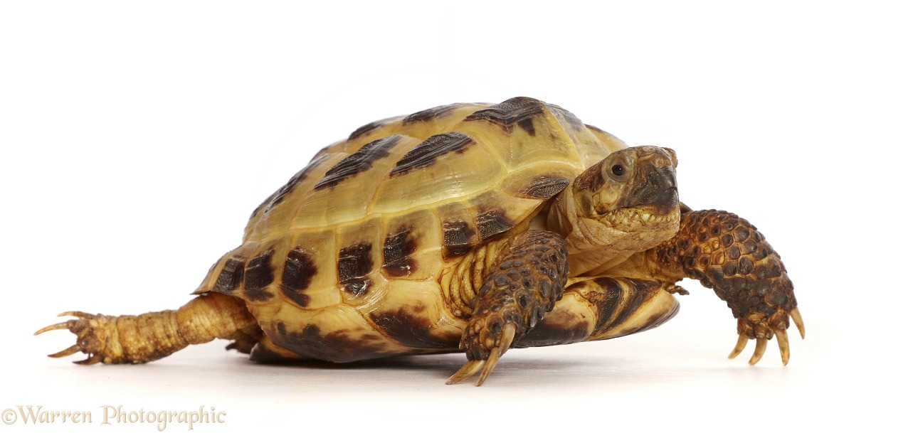 Horsefield or Russian Tortoise (Testudo horsfieldii), white background