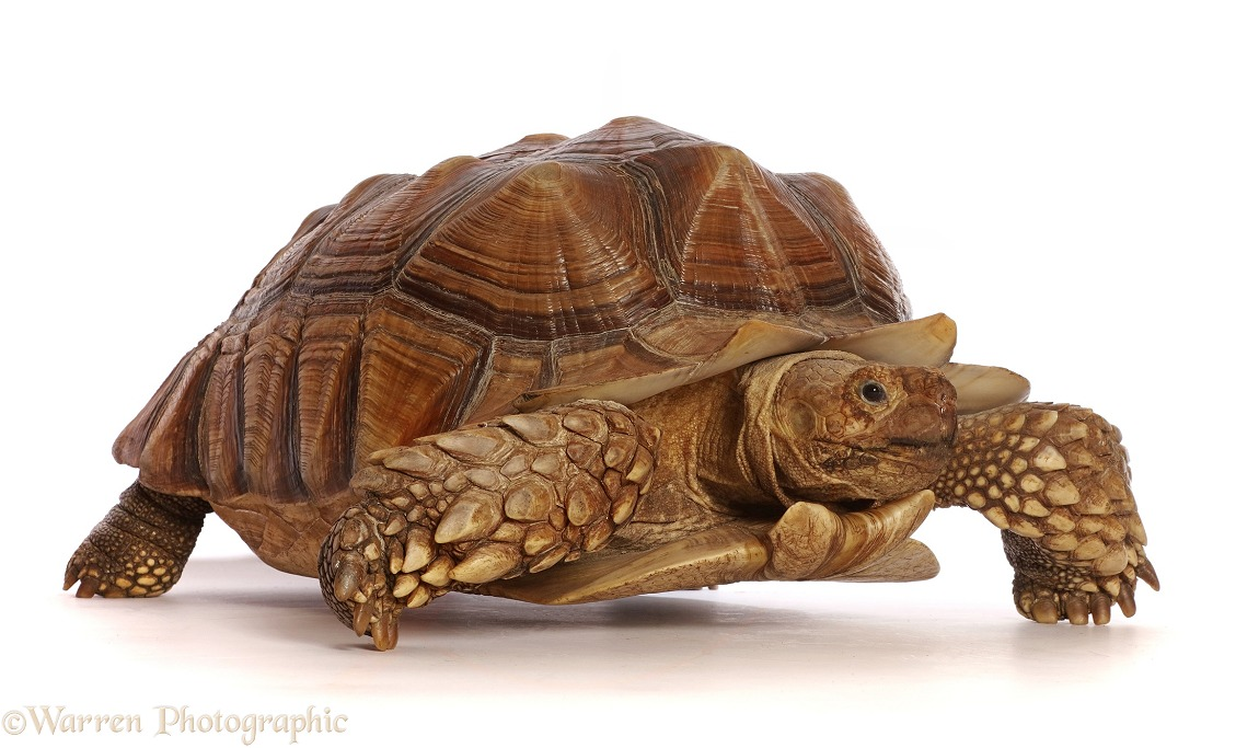 African Spurred or Sulcata Tortoise (Centrochelys sulcata), white background