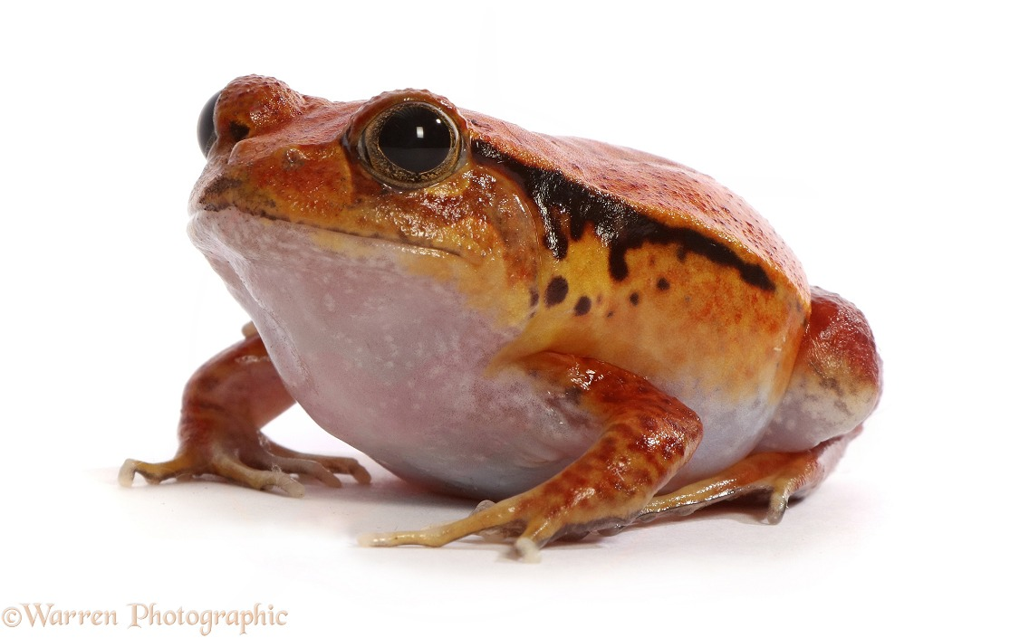 Tomato Frog (Dyscophus guineti).  Madagascar, white background