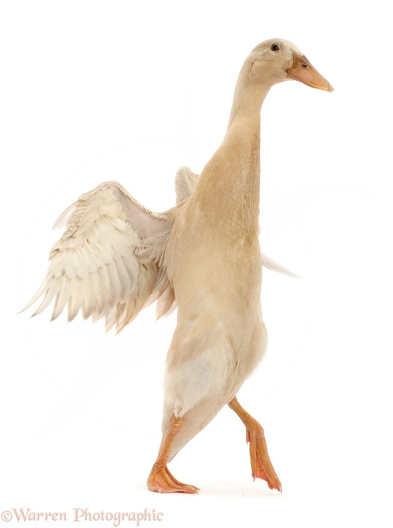 Indian Runner Duck, flapping, white background