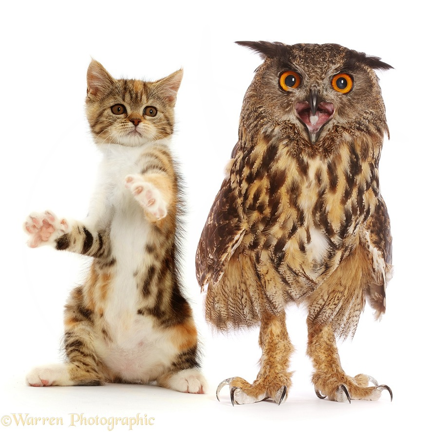 Tortoiseshell-tabby kitten, 10 weeks old, sitting with paws up, with European Eagle Owl (Bubo bubo), white background