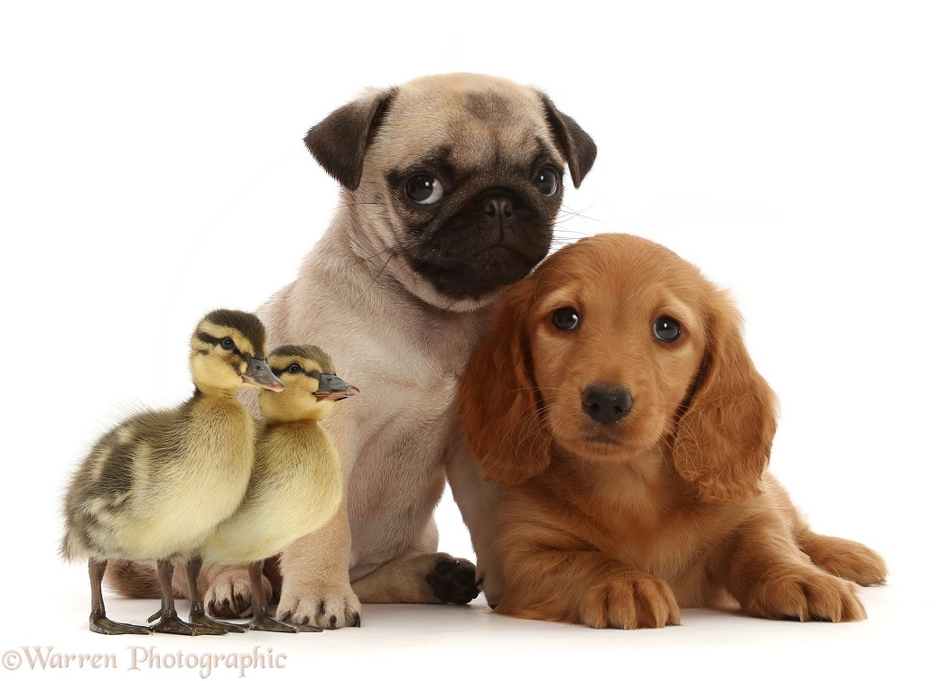 Cream Dachshund puppy, 7 weeks old, and Fawn Pug Puppy, 8 weeks old, with Ducklings, white background