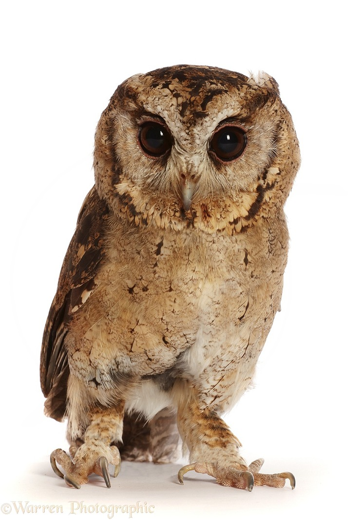 Young Indian Scops Owl (Otus bakkamoena), white background
