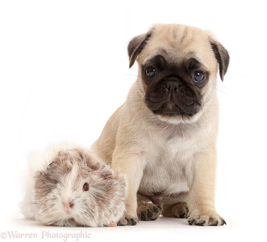 Pug pup and Guinea pig, white background