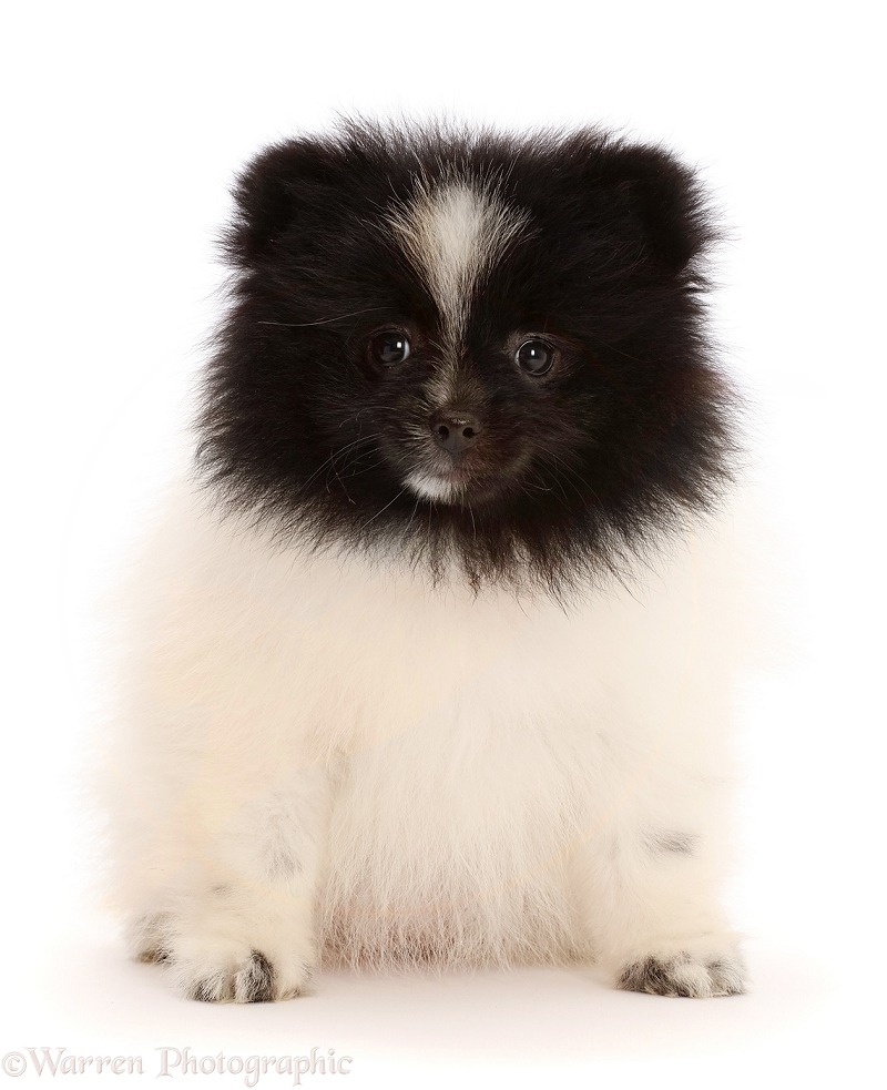 Black-and-white Parti Pomeranian puppy, 10 weeks old, white background