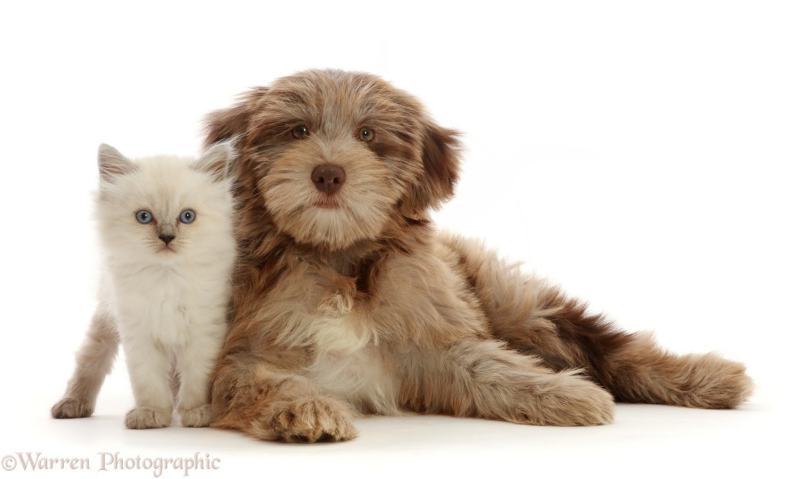 Chocolate merle Cockapoo puppy, Cola, 12 weeks old, and Persian-x-Ragdoll kitten, 7 weeks old, white background