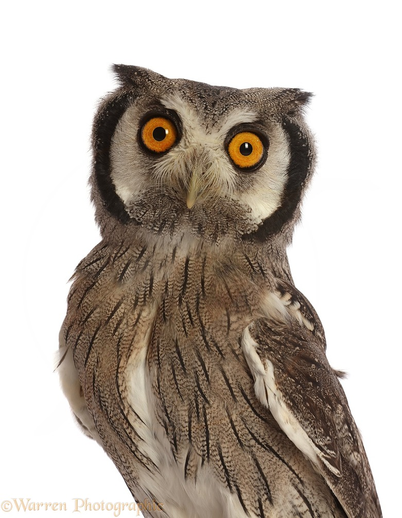 Southern White-faced Owl (Ptilopsis granti).  Southern Africa, white background