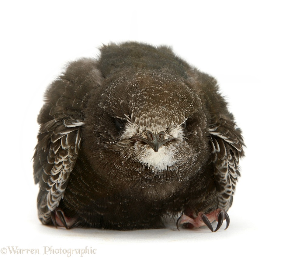 Fledgling Swift (Apus apus), white background