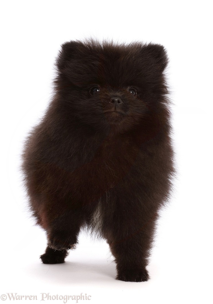 Black Pomeranian puppy, 10 weeks old, white background