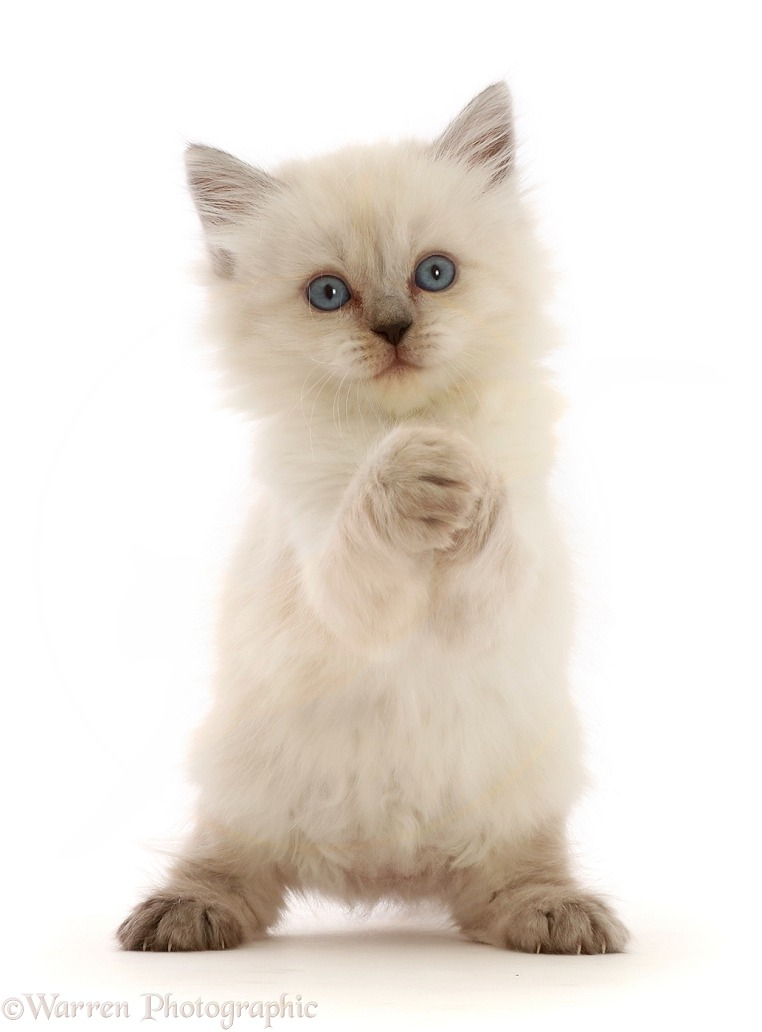Playful Persian-x-Ragdoll kitten, 7 weeks old, paws clasped, white background