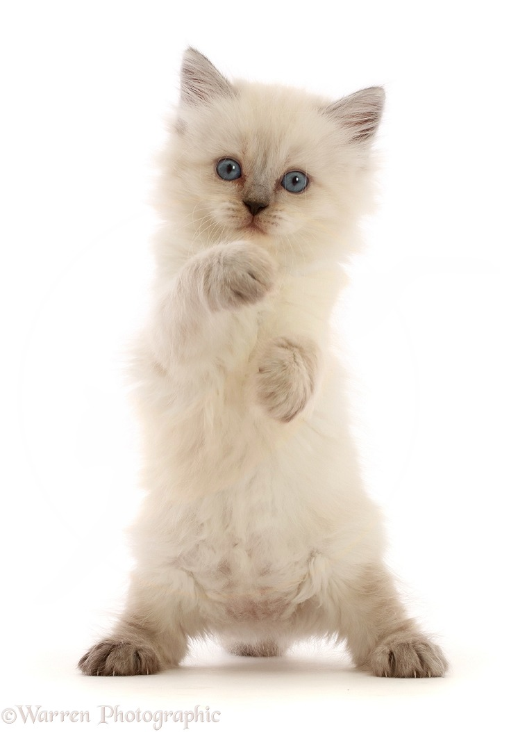 Persian-x-Ragdoll kitten, 7 weeks old, standing up, white background