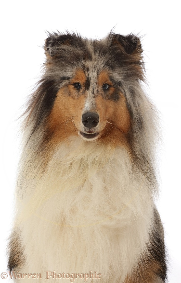 Rough Collie portrait, white background