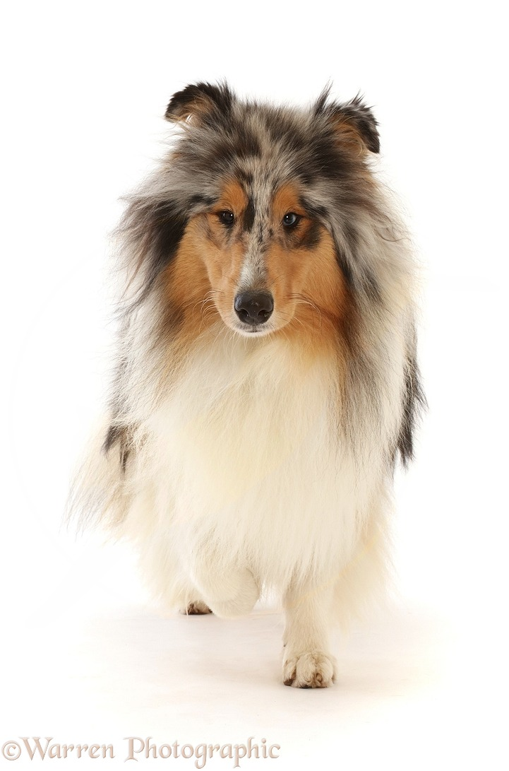 Rough Collie lying walking, white background