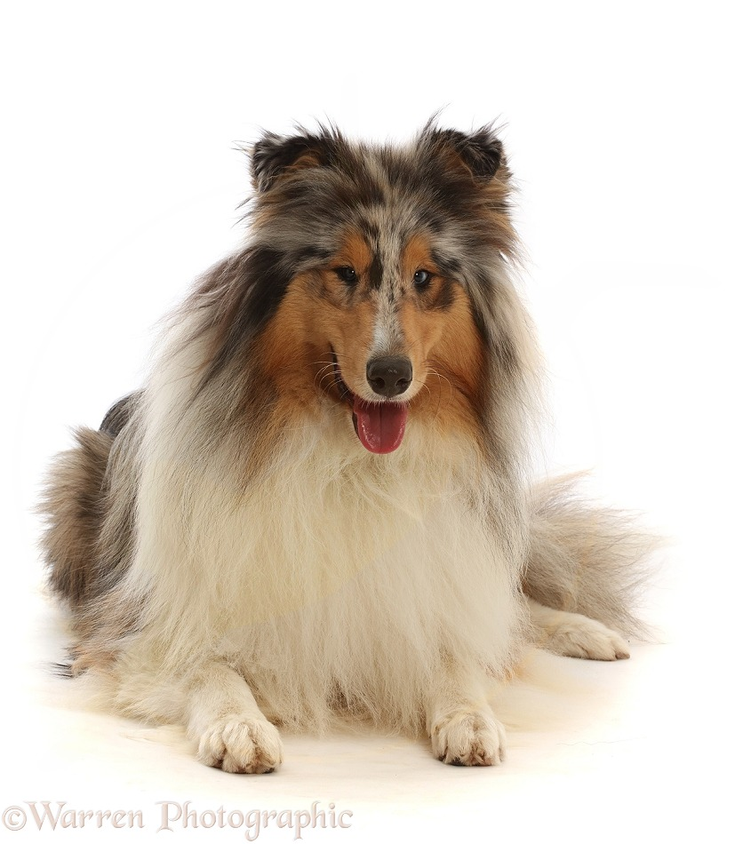 Rough Collie lying with head up, white background