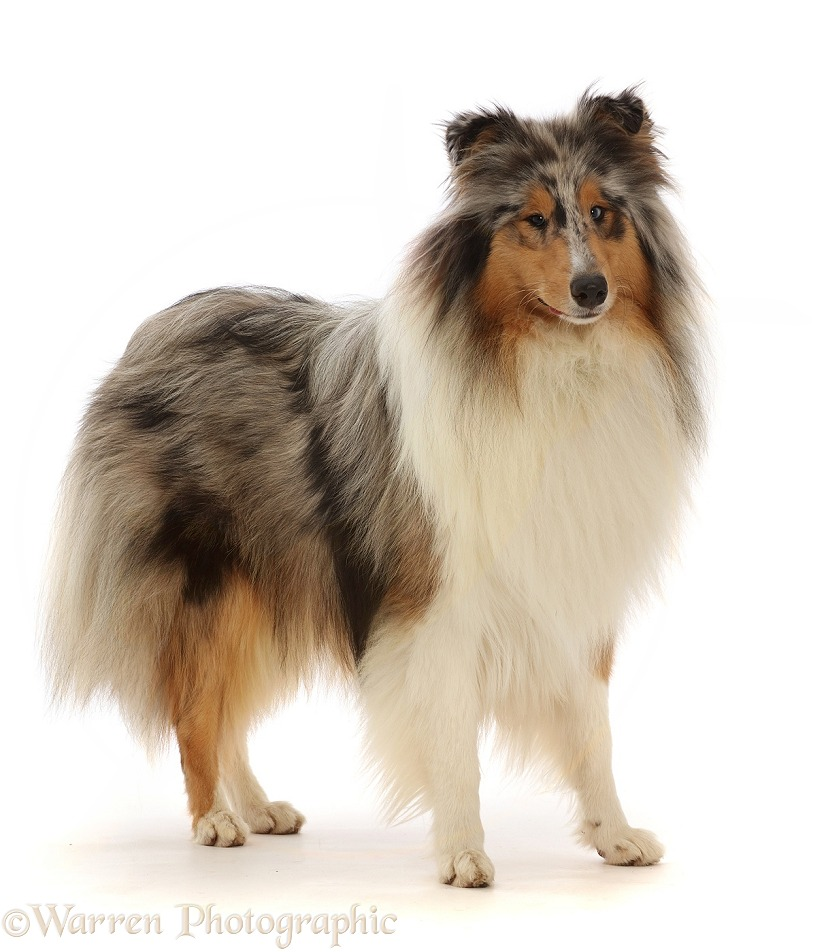 Rough Collie lying standing, white background