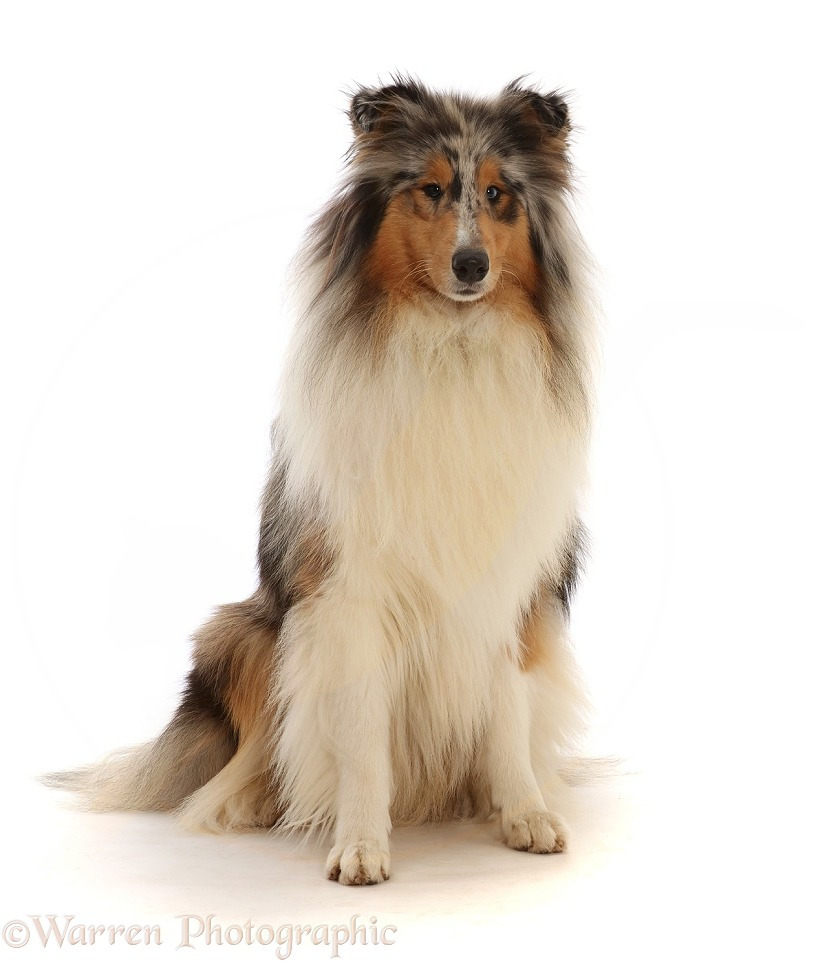 Rough Collie lying sitting, white background