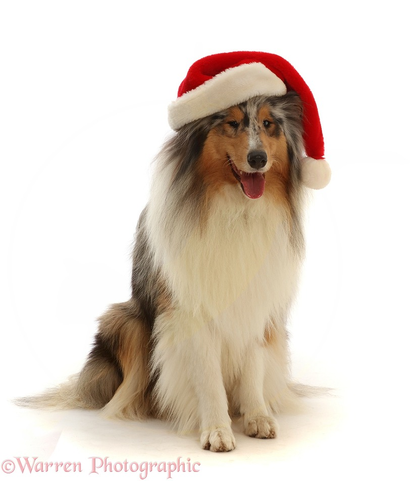 Rough Collie wearing a Father Christmas hat, white background