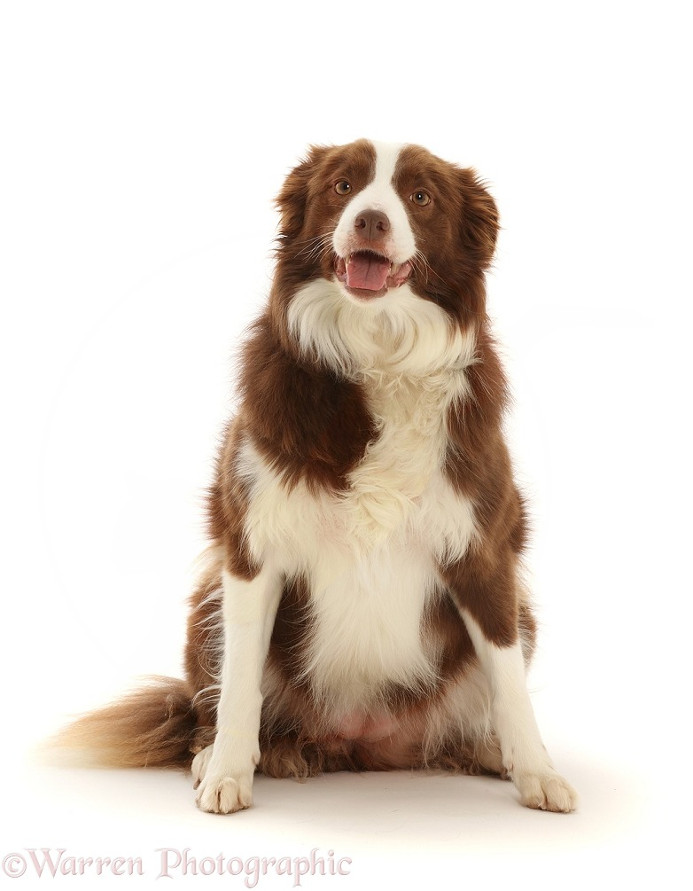 Chocolate-and-white Border Collie, 5 years old, white background