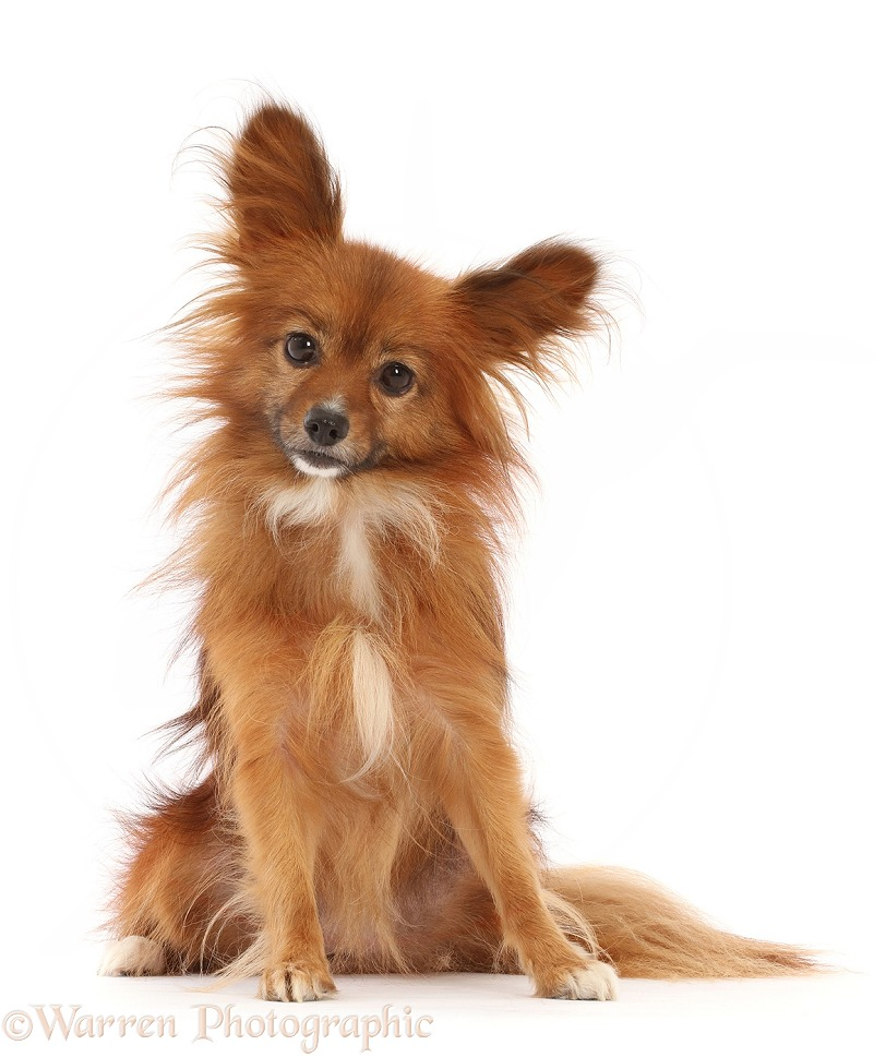 Paperanian (Pom x Papillon), 7 years old, white background
